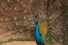 Male Indian Blue Peafowl displaying. Peacock dissolved his tail royalty free stock images