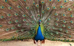 Male Indian Blue Peafowl displaying. Peacock dissolved his tail royalty free stock photos