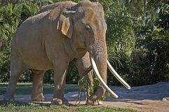 Male Indian Elephant. Eating palm leaves with its trunk Stock Image