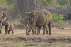 Male Indian Elephant along the River Bank Stock Image