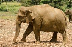 Male Indian elephant Stock Image