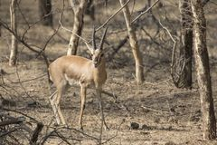 Male Indian gazelle or chinkara standing among trees in the wint Royalty Free Stock Photography