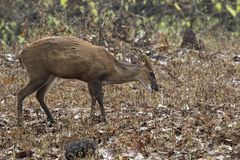 Male Indian muntjac or barking deer that is grazing in the woods Royalty Free Stock Image