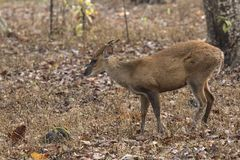 Male of a Indian muntjac or barking deer standing in the woods o Royalty Free Stock Images