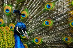 Male indian peacock Royalty Free Stock Image