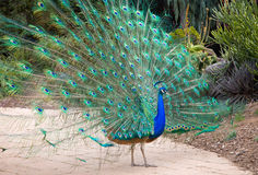 Male Indian Peacock Stock Photography