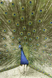 Male Indian Peacock Royalty Free Stock Photos