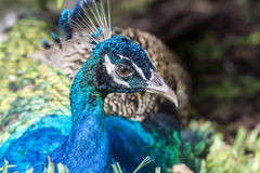 Male Indian Peacock. Peafowl are two Asiatic and one African species of flying bird in the genus Pavo of the pheasant family, Phasianidae,Male Indian Peacock Royalty Free Stock Image