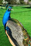 Male Indian Peafowl. Closeup of male Indian Peafowl (Pavo cristatus), seen from behind, on green grass background Stock Images