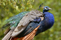 Male Indian Peafowl Stock Photos
