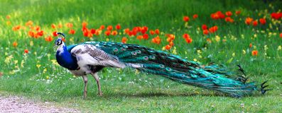 Male Indian Peafowl Royalty Free Stock Photo
