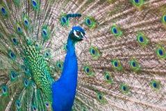 Male Indian Peafowl Stock Photo