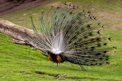 The male Indian peafowl Blue peafowl or Pavo cristatus with his colorful on his back side covert feathers. Photography of lively nature and wildlife royalty free stock photo