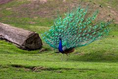 The male Indian peafowl Blue peafowl or Pavo cristatus with his colorful on his covert feathers. Photography of nature and wildlife stock photography