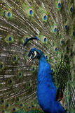 Male Indian Peafowl displaying tail feathers Royalty Free Stock Photo