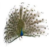 Male Indian Peafowl displaying wheel