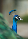 Male Indian Peafowl head detail Stock Photo