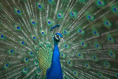 Male Indian Peafowl head and tail Royalty Free Stock Photography
