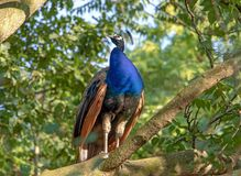 Male Indian Peafowl Pavo cristatus. Standing on the tree with green leafs stock images