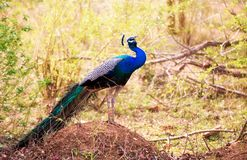 A Peacock Pavo cristatus Calls Through the Undergrowth in Udawalawe Nature Reserve. A male Indian Peafowl Pavo cristatus or Peacock lets out shrill calls through stock images