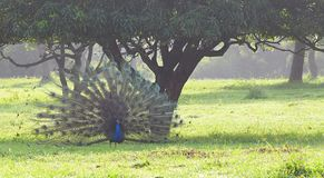 A Male Indian Peafowl - Peacock - Pavo Cristatus - Dancing under a Mango Tree in a Grass Field in an Indian Village. This is a photograph of a male Indian Stock Photos