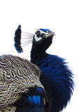 Male Indian Peafowl Portrait Royalty Free Stock Image