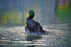 Male Indian Runner Duck, Anas platyrhynchos domesticus Stock Image
