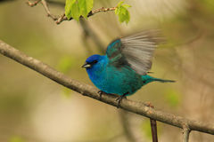 Male Indigo Bunting Royalty Free Stock Photo