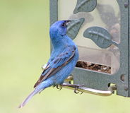 Male Indigo Bunting Stock Images
