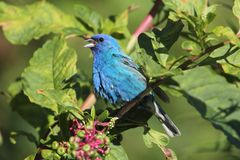 Male Indigo Bunting (Passerina cyanea) Royalty Free Stock Photos