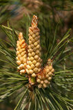 Male inflorescence of a Scots pine Royalty Free Stock Photography