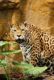 Male jaguar Royalty Free Stock Photo