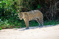 Male Jaguar on the beach Royalty Free Stock Image