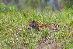 Male Jaguar in long grass Royalty Free Stock Photography