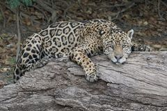 Jaguar dozing. Male Jaguar in the Pantanal, Brazil Stock Images