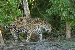 Male Jaguar in rain forest on river bank. A wild male Jaguar walking on the bank of the Cuiaba River in the Pantanal in Brazil Stock Photos