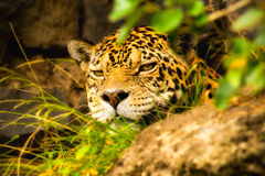 Male Jaguar Stalking. Male Adult Jaguar Hiding In A Mayan Temple Ecuador Royalty Free Stock Photography