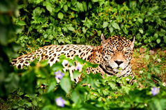 Male Jaguar In The Wild Stock Photo