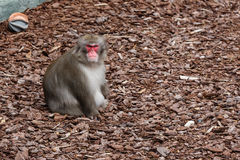 Male of Japanese macaque Royalty Free Stock Photos