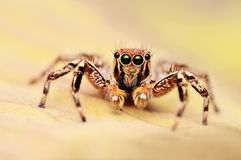 Male jumping spider, Plexippus petersi looking at you, Satara district, Maharashtra, India.  royalty free stock photos