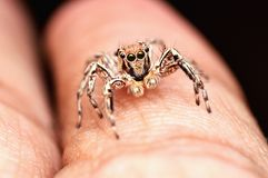 Jumping spider, Plexippus petersi, male resting on finger, Satara, Maharashtra, India. Male jumping spider, Plexippus petersi resting on finger, Satara stock photos