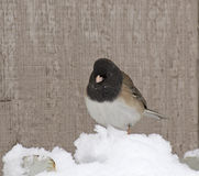 Male Junco Bird Against Wood. A male junco bird (Junco hyemalis) against wood siding in snow Royalty Free Stock Photography