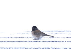 Male Junco Bird on Car Roof In Snow. A male junco (Junco hyemalis) in the snowy roof of a car Royalty Free Stock Image