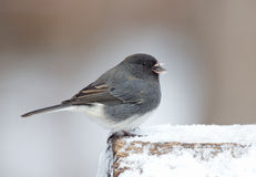 Male Junco. Standing on log in snow Royalty Free Stock Photo