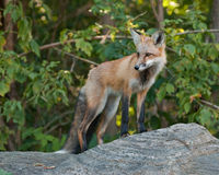 Male Juvenile Red Fox. Juvenile Male Red Fox standing on a boulder Royalty Free Stock Photography