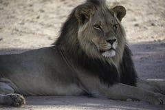 Male Kalahari Lion with black mane at  Kgalagadi National Park Royalty Free Stock Image