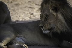 Male Kalahari Lion at  Kgalagadi National Park Stock Image