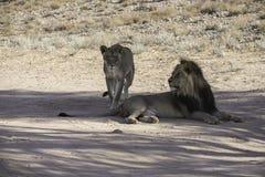 Male Kalahari Lion with lioness at  Kgalagadi National Park Royalty Free Stock Photos
