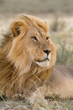 Male Kalahari lion in the wind. A massive blond Kalahari lion male lying in the grass with the wind blowing through his mane Stock Image