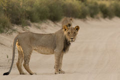 Male Kalahari Lion Royalty Free Stock Images